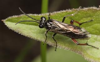 Tenthredinidae · pjūklelis