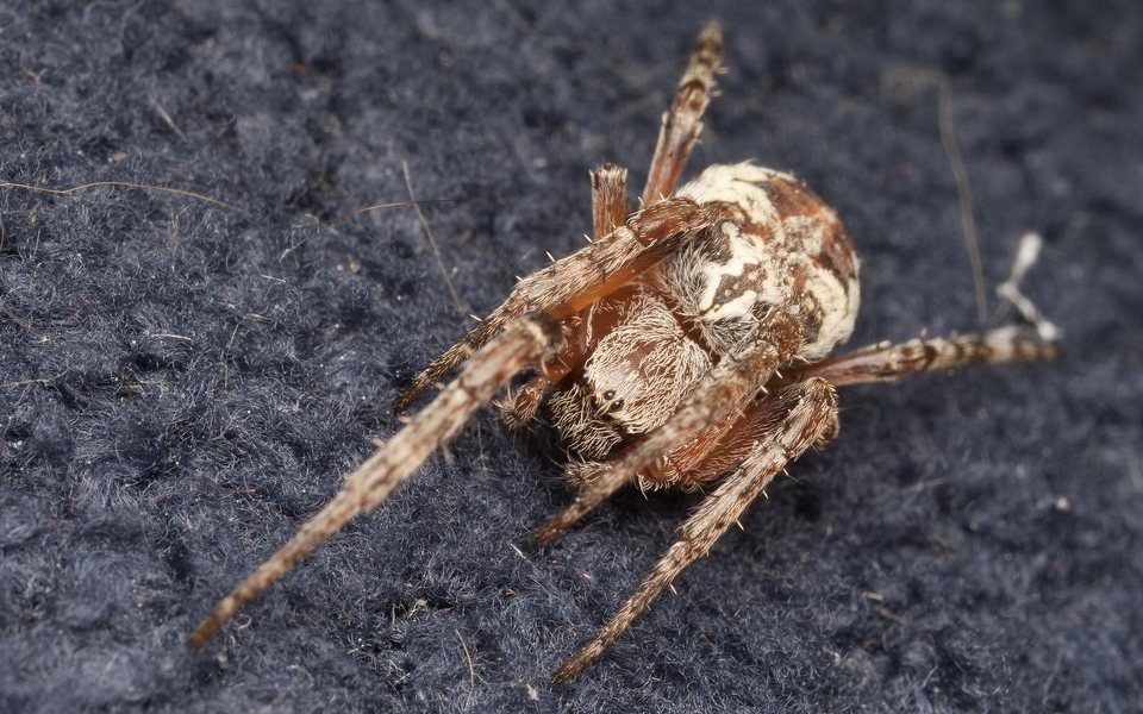 Araneidae-3564.jpg