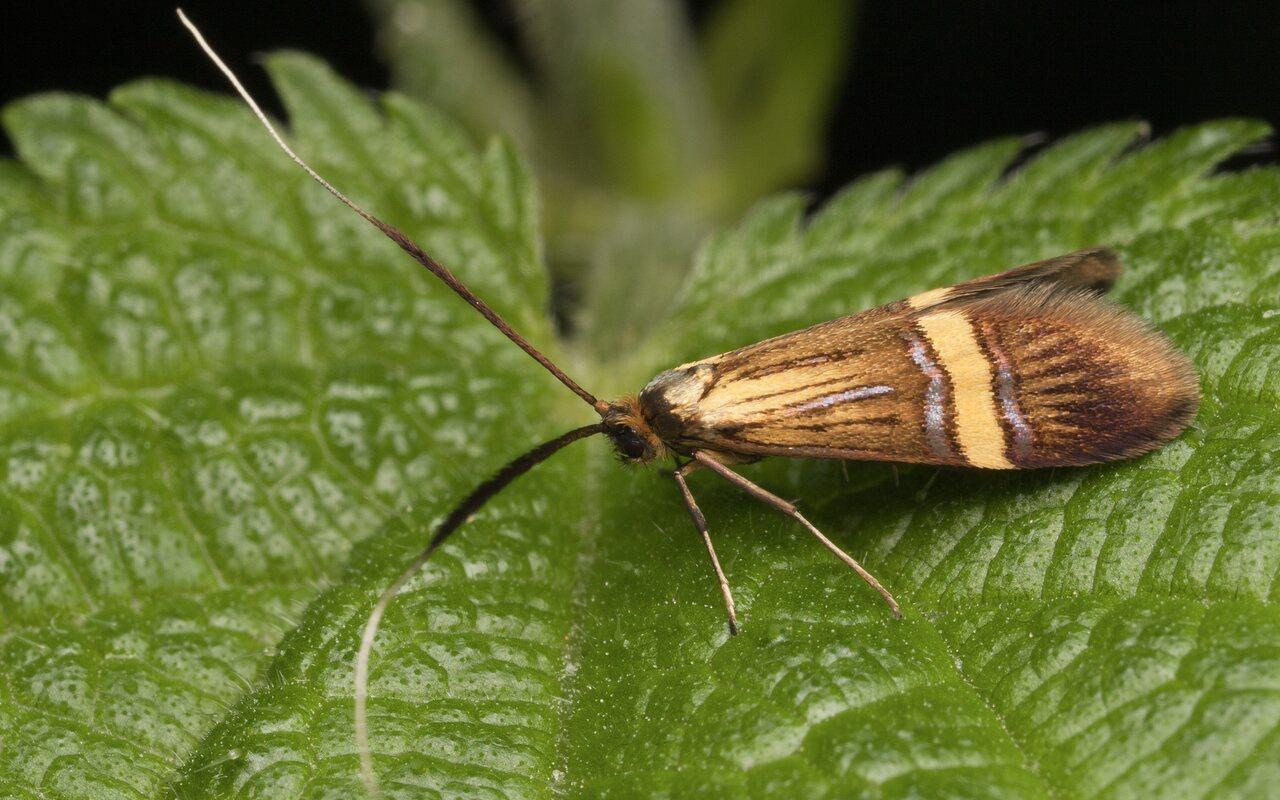 Nemophora-degeerella-3566.jpg