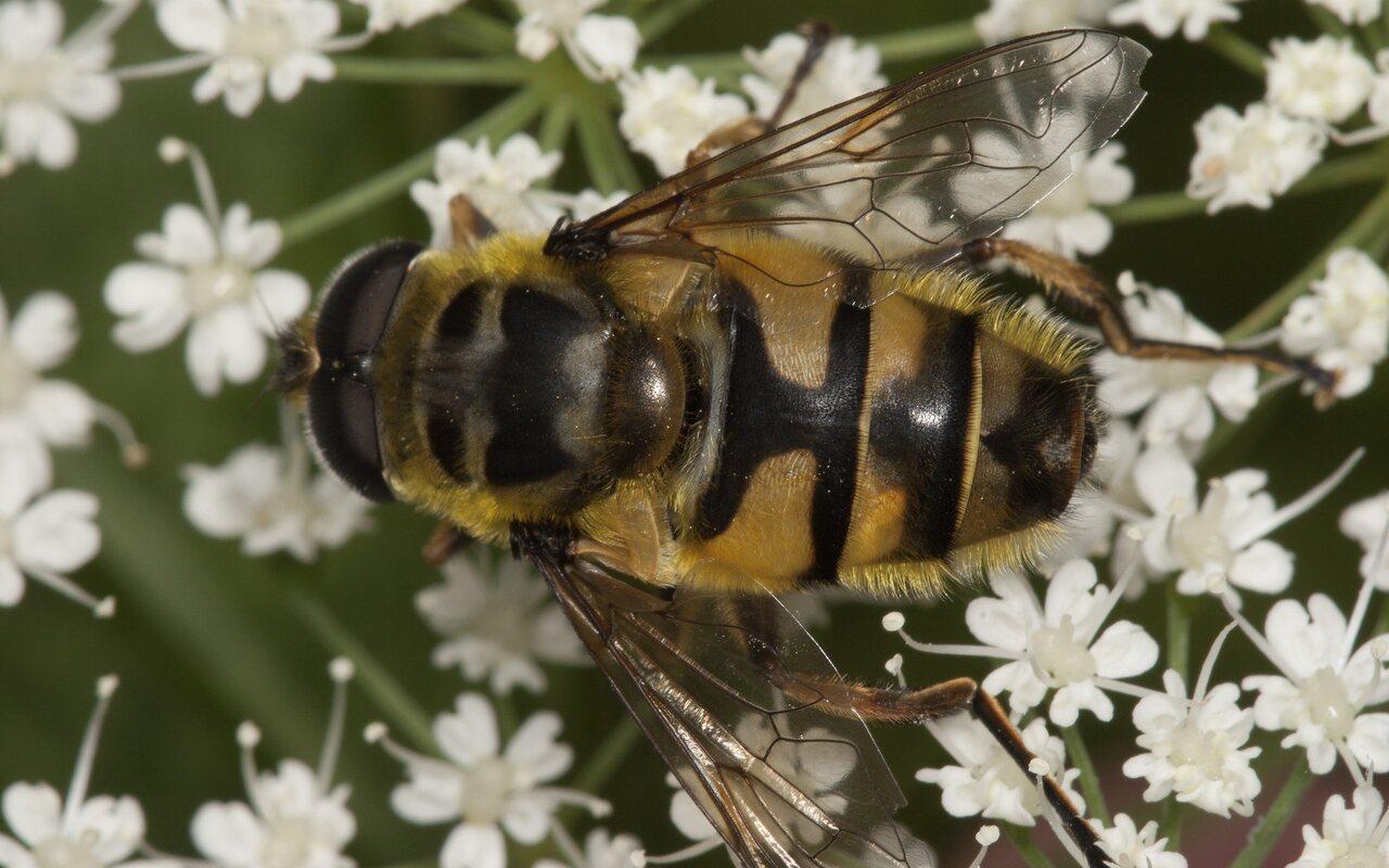 Syrphidae-3575.jpg