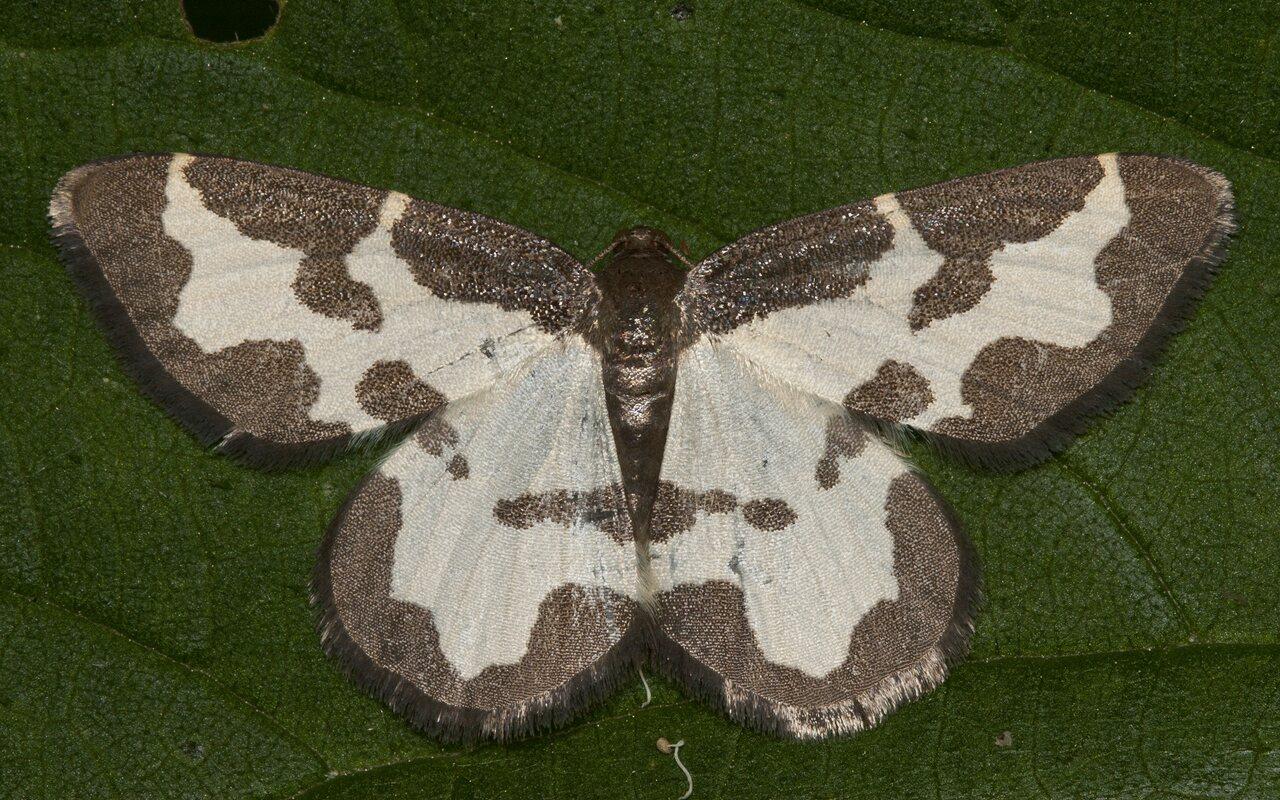Lomaspilis-marginata-3578.jpg