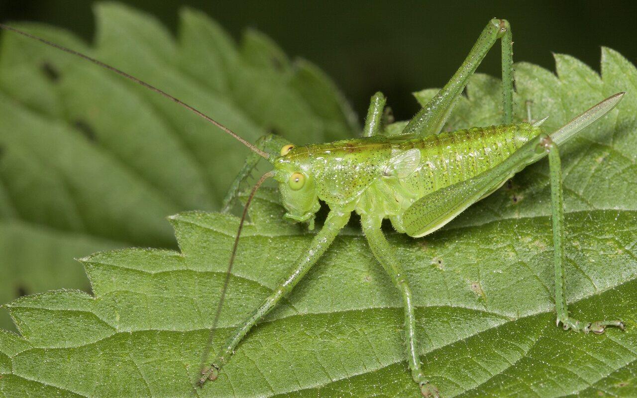 Tettigonia-viridissima-3582.jpg