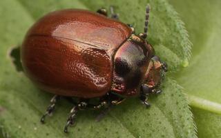 Chrysomelidae · lapgraužiai