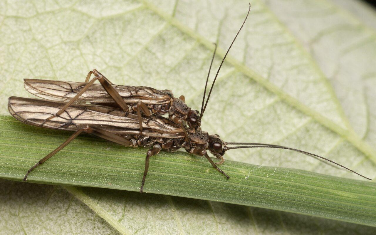 Plecoptera-3593.jpg