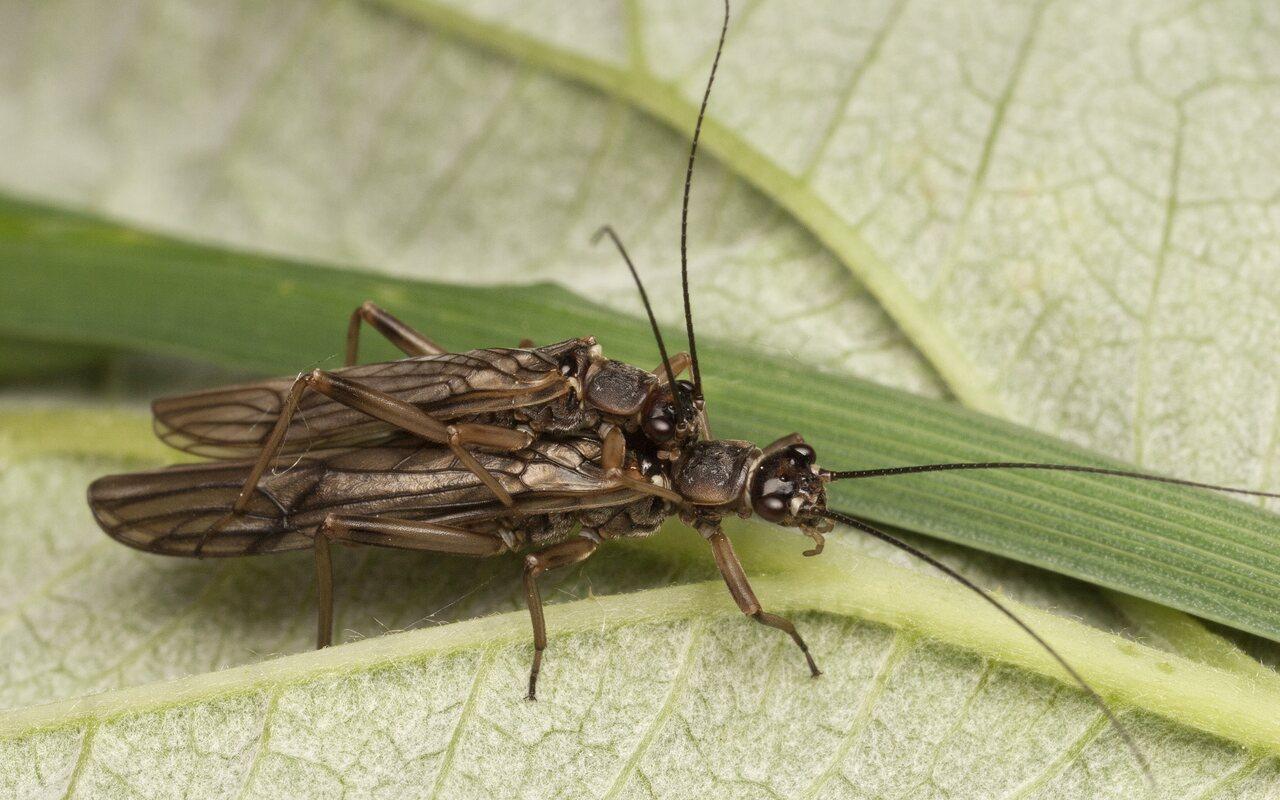 Plecoptera-3595.jpg