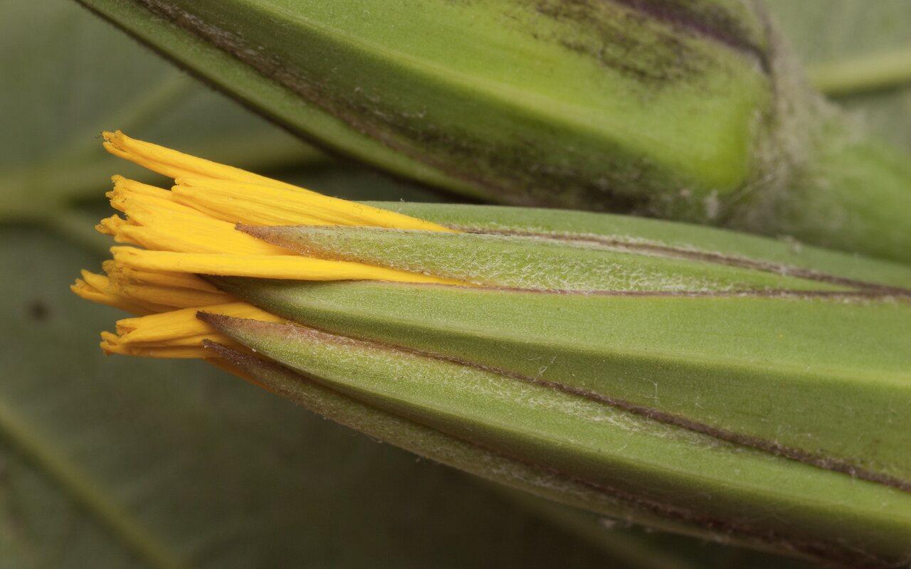 Tragopogon-pratensis-3602.jpg