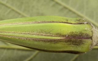 Tragopogon pratensis flower bud · pievinis pūtelis, žiedpumpuris