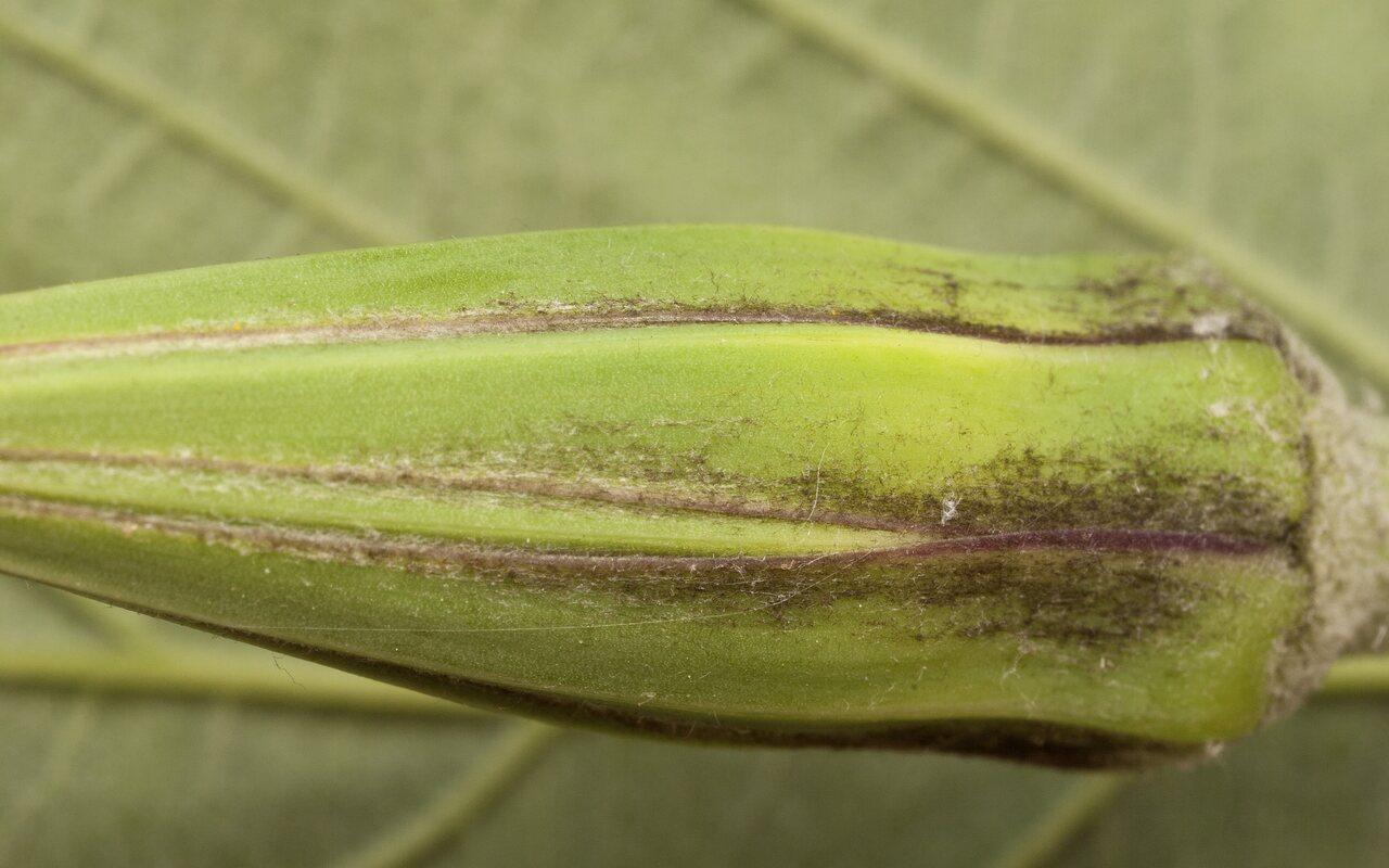 Tragopogon-pratensis-3603.jpg