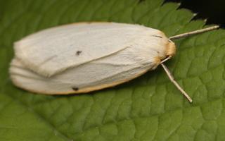 Arctiinae · meškutės