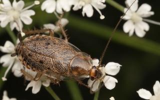 Ectobius lapponicus · laplandinis prūsokas