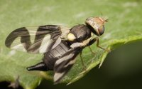 Urophora-cardui-3615.jpg
