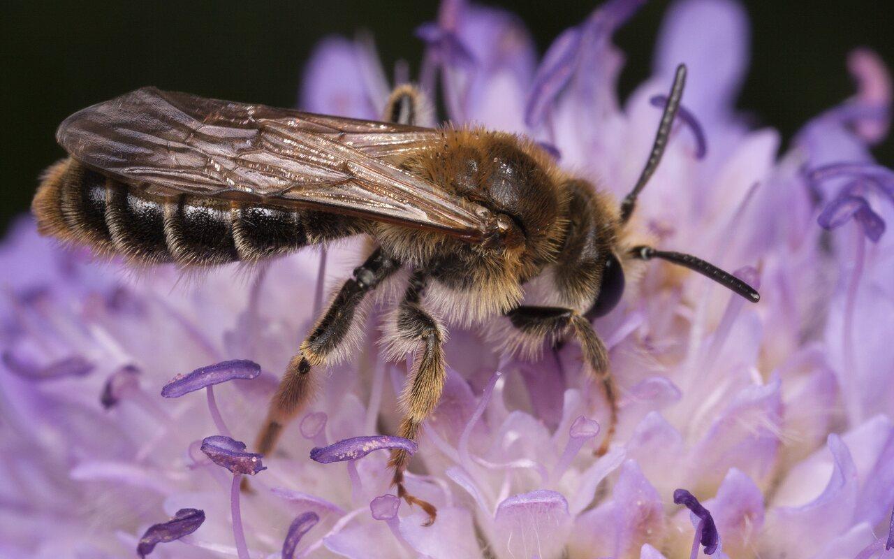 Apidae-3617.jpg