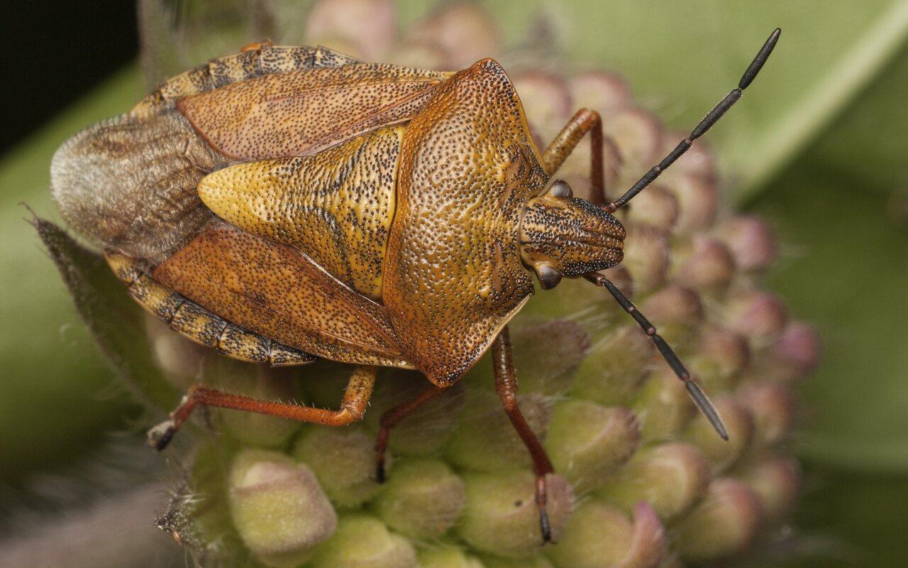 Carpocoris-pudicus-3620.jpg