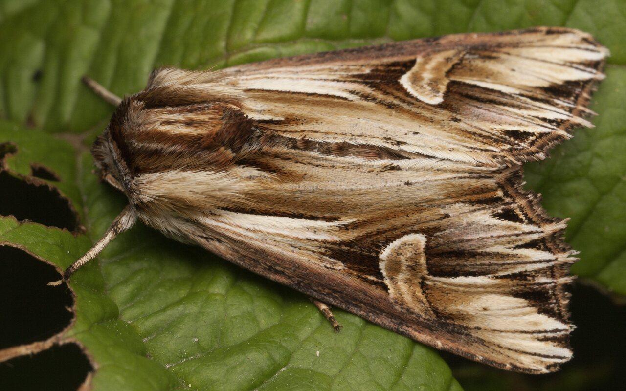 Actinotia-polyodon-3661.jpg
