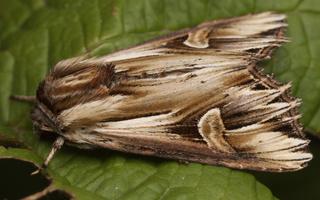 Actinotia polyodon · spinduliuotasis pelėdgalvis