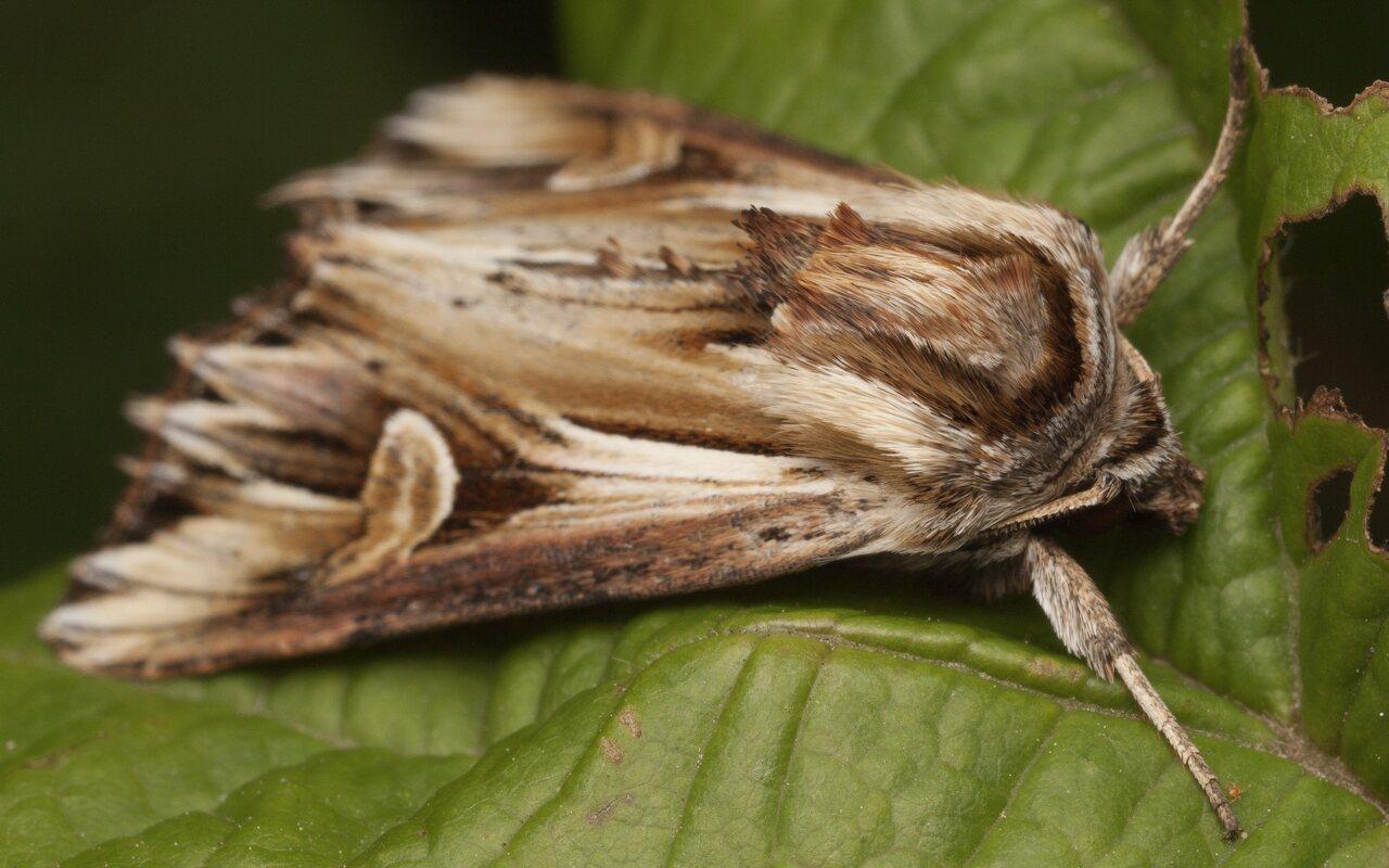 Actinotia-polyodon-3663.jpg