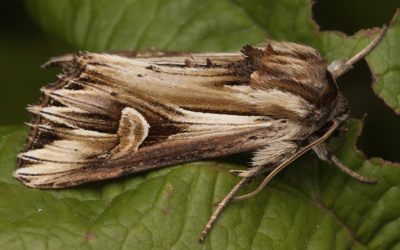 Actinotia-polyodon-3664.jpg
