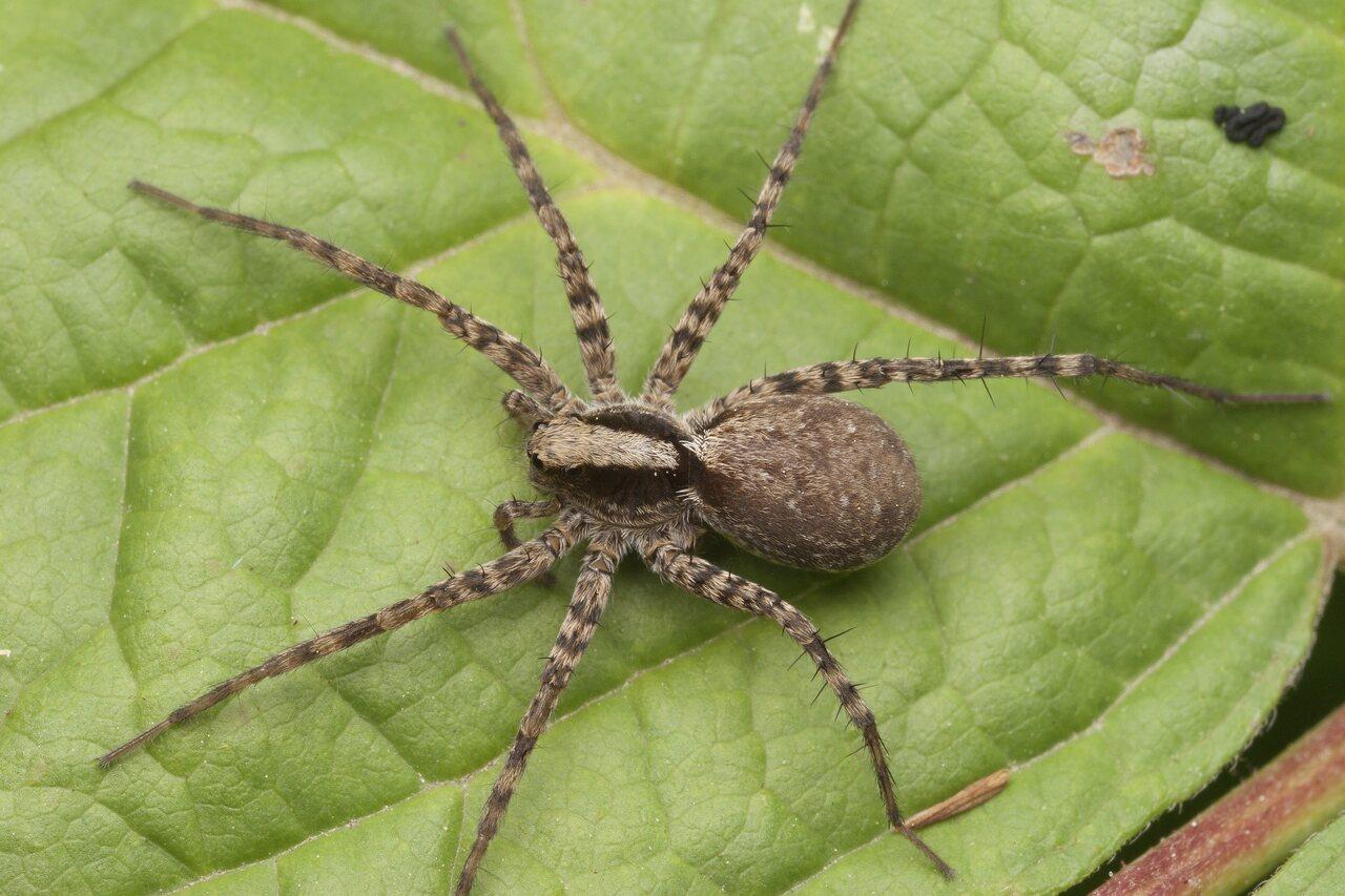 Lycosidae-3669.jpg