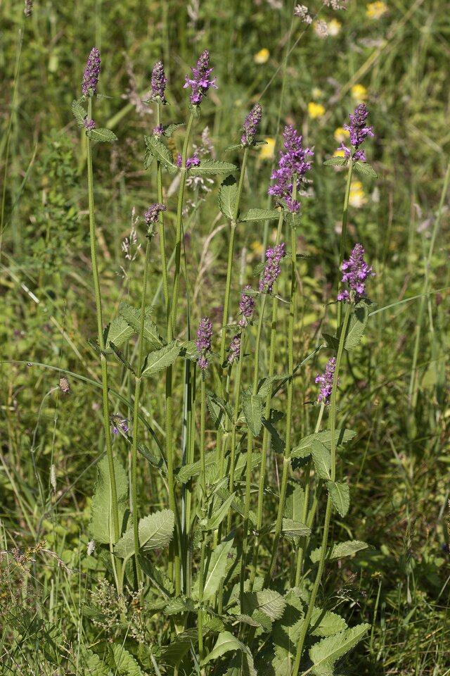 Stachys-officinalis-3673.jpg