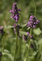 Stachys officinalis · vaistinė notra