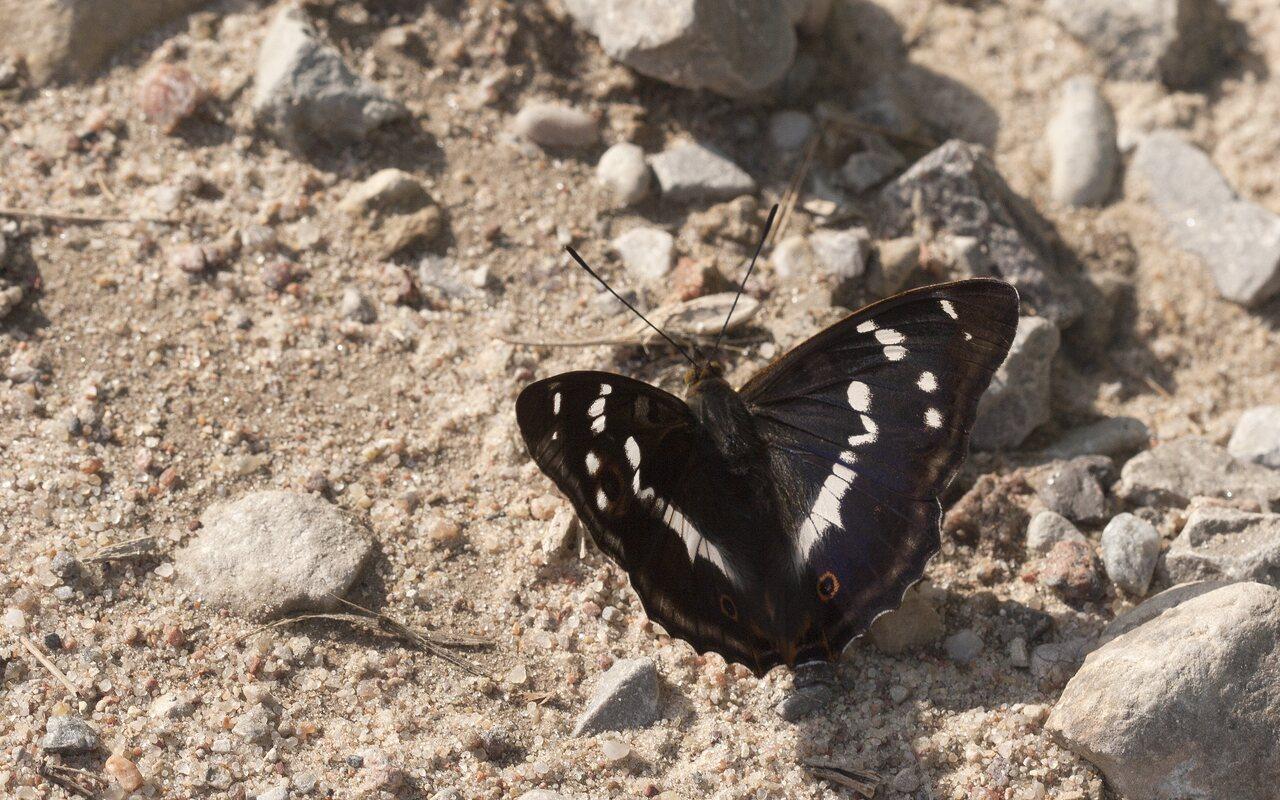 Apatura-iris-3677.jpg