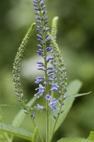 Veronica longifolia · ilgalapė veronika