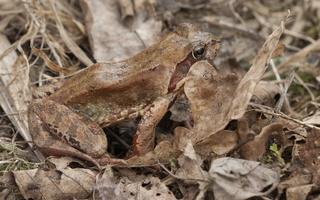 Rana temporaria · pievinė varlė