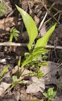 Allium ursinum · meškinis česnakas