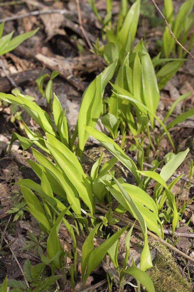 Allium-ursinum-3835.jpg
