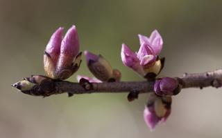 Daphne mezereum · paprastasis žalčialunkis