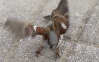 Passer domesticus male · žvirblis ♂