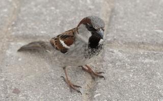 Aves · paukščiai