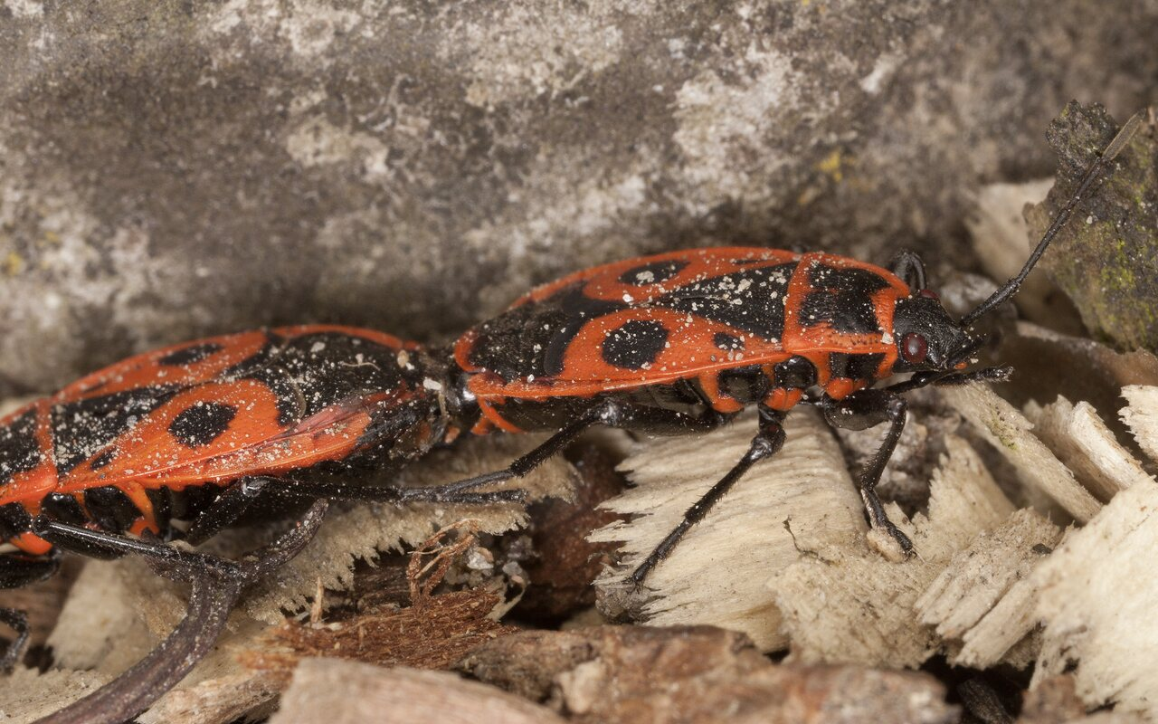 Pyrrhocoris-apterus-3864.jpg