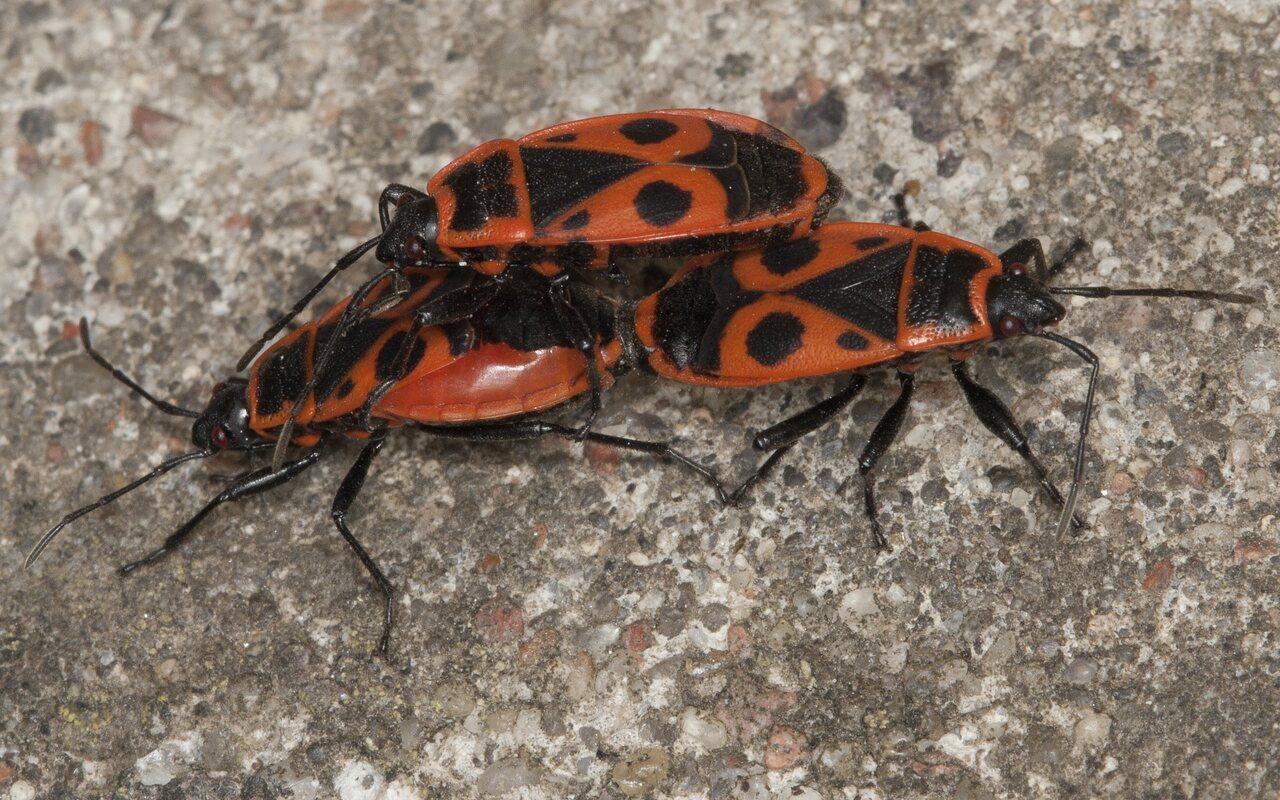 Pyrrhocoris-apterus-3867.jpg