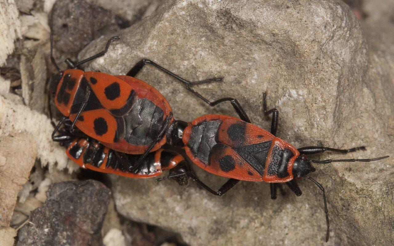 Pyrrhocoris-apterus-3868.jpg