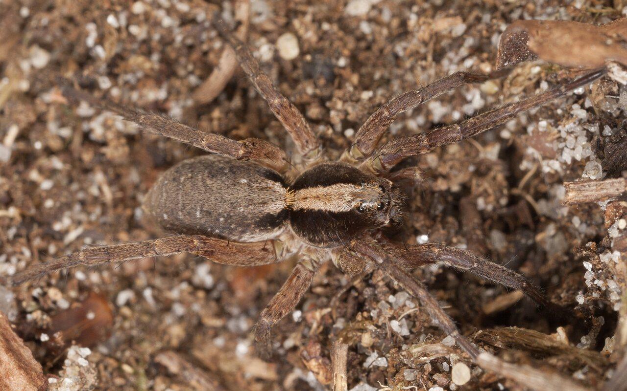Lycosidae-3876.jpg
