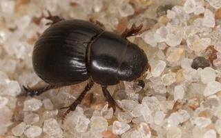 Aegialiidae · kopiniai mėšlavabaliai