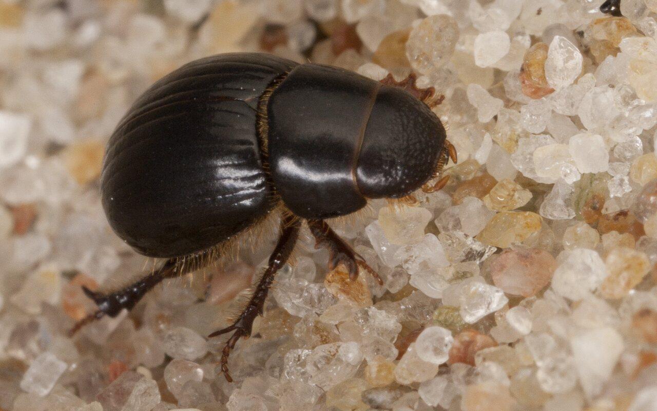 Aphodiidae-3880.jpg