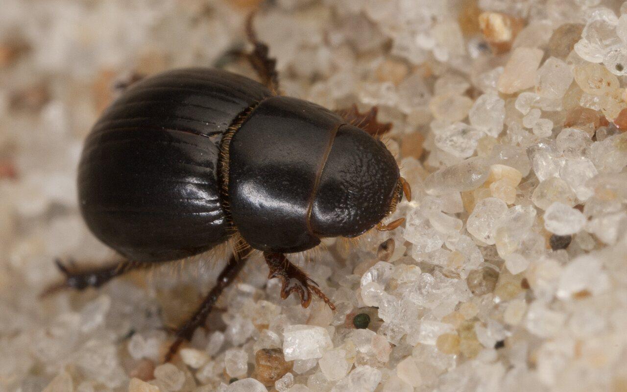 Aphodiidae-3881.jpg
