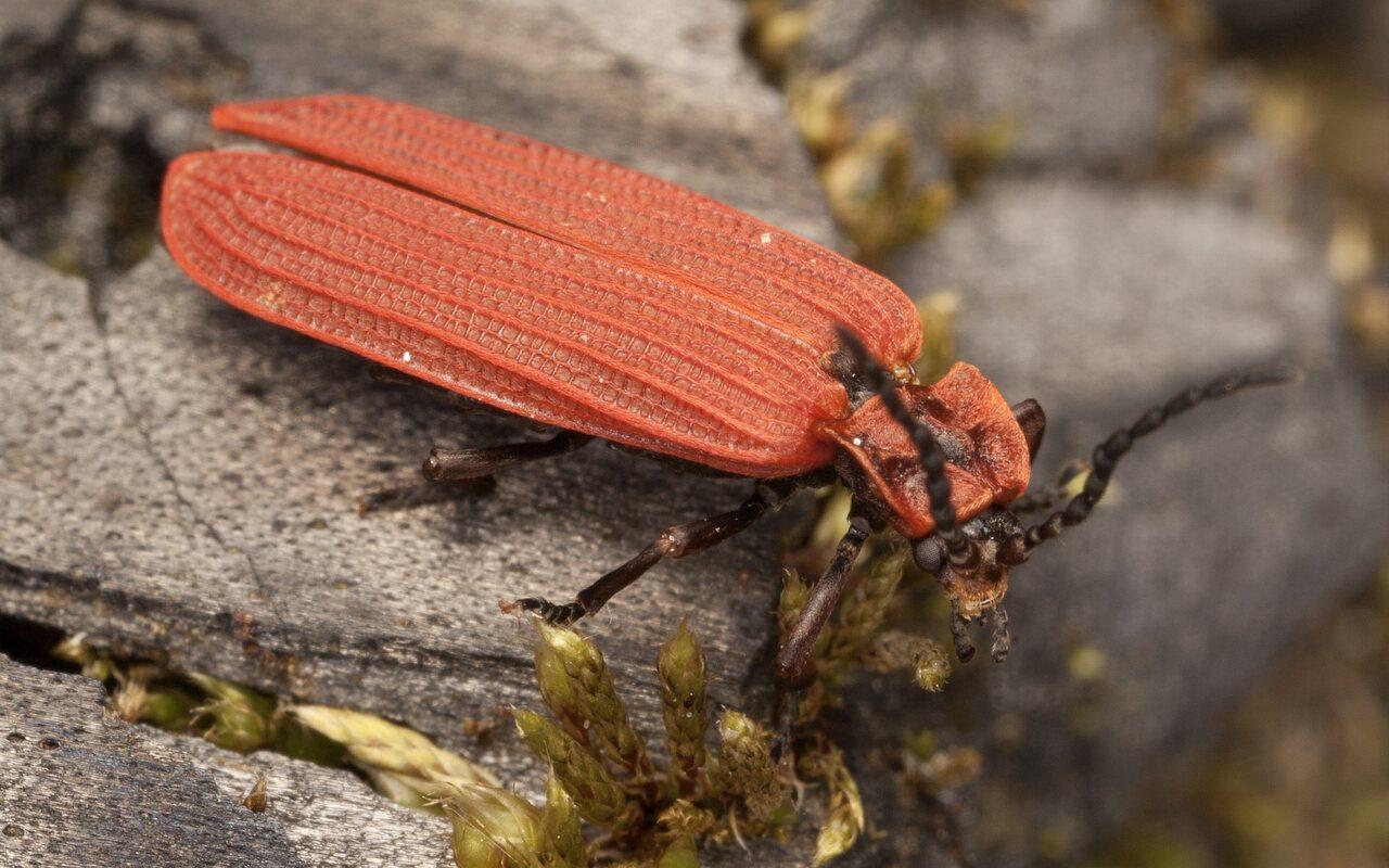 Dictyoptera-aurora-3888.jpg