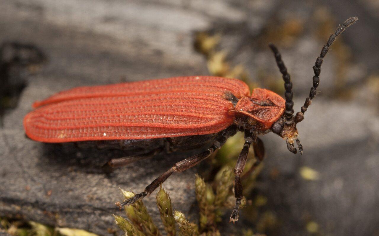 Dictyoptera-aurora-3889.jpg