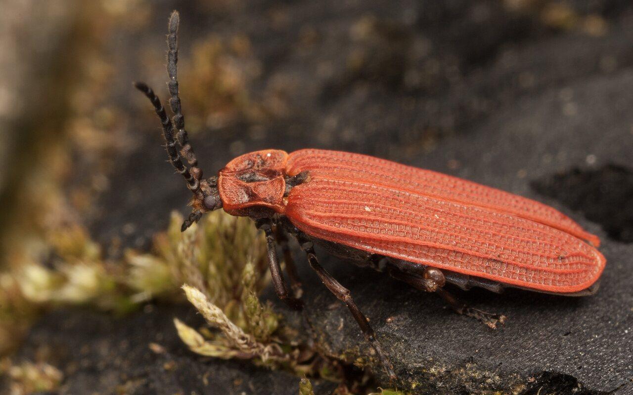Dictyoptera-aurora-3890.jpg