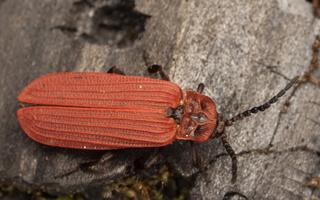 Lycidae · žiedvabaliai