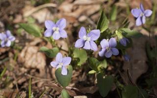 Viola canina · šuninė našlaitė