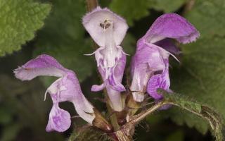Lamium maculatum · dėmėtoji notrelė