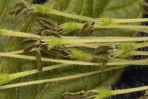 Acer negundo, flowers · uosialapis klevas, žiedai