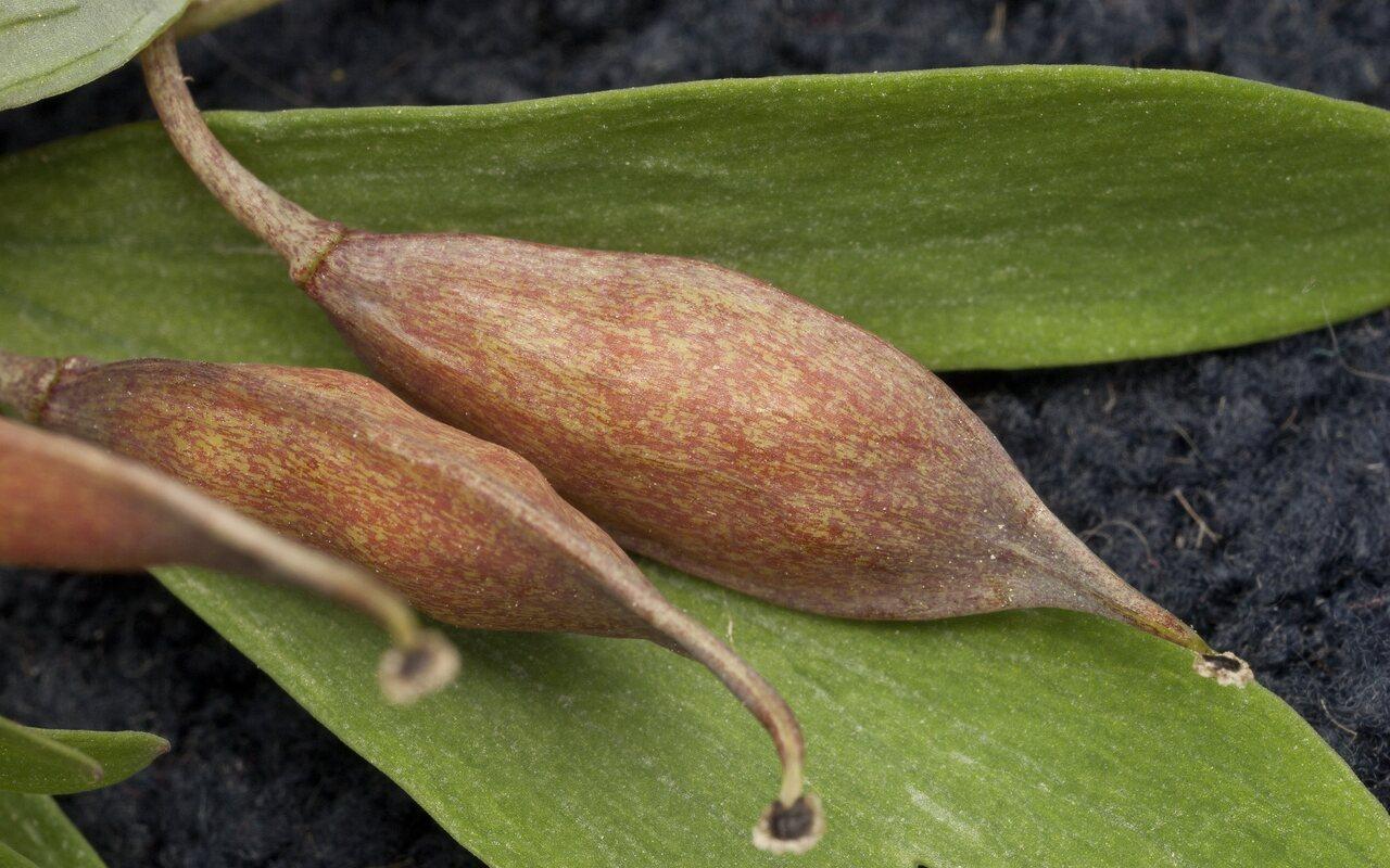 Fabaceae-3920.jpg