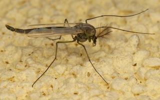 Chironomidae · uodas trūklys