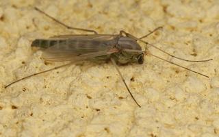 Chironomidae · uodai trūkliai