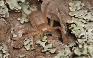 Philodromus fuscomarginatus female · tamsusis vikrūnas ♀